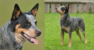 ACD Silverbarn's Rumba Collage
