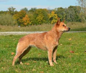 Australian Cattle Dog WAH4