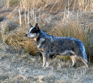 Australian Cattle Dog Yumi