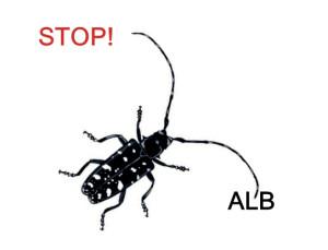 asiatische laubbock käfer alb